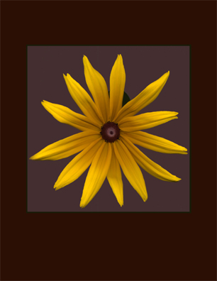 Kenneth Hemmerick - Scanned Flowers - Black Eye Susan