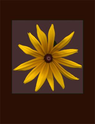 Kenneth Hemmerick - Scanned Flowers - Black Eye Susan