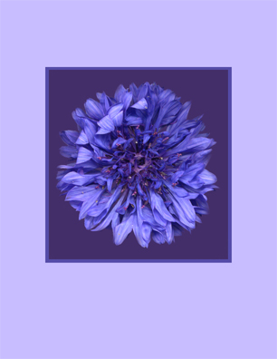 Suicide Prevention Help - Scanned Flowers - Cornflower