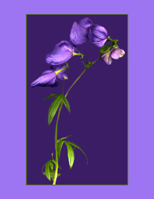 Kenneth Hemmerick - Scanned Flowers - Monkshood