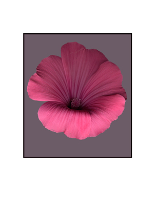 scanned flowers kenneth hemmerick pink lavatera