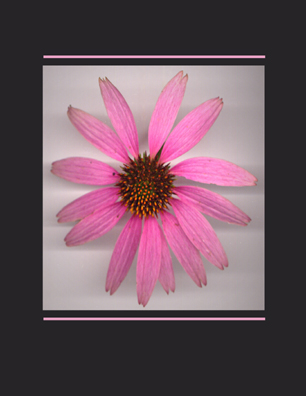 Kenneth Hemmerick - Scanned Flowers - Purple Coneflower