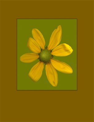 scanned flowers kenneth hemmerick yellow daisy