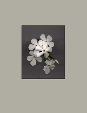 Kenneth Hemmerick Scanned Flowers - White Phlox