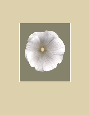 Kenneth Hemmerick's Scanned Flowers - White Lavatera